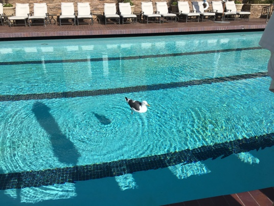 seagull-in-pool